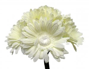 """Cream 10"""" tall gerbera daisy bouquet x 9"""