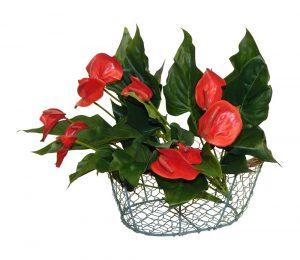 Set of 2 anthurium calla lily bush