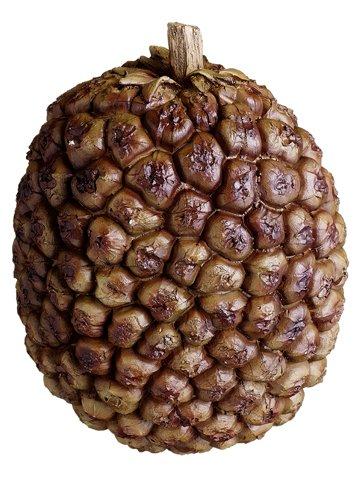 "5.5"" Tropical Fruit Nut Brown"