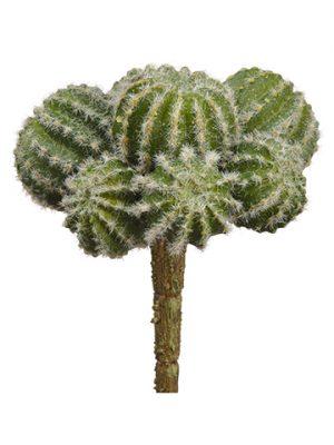 """5.5"""" Barrel Cactus Pick Green"""
