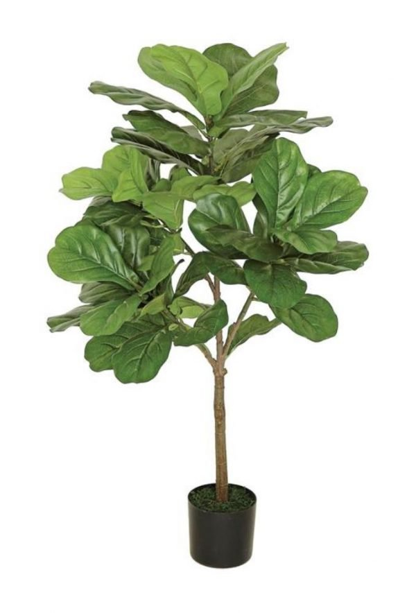 Large leaf fig tree 3ft tall