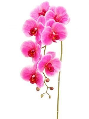 """42"""" Phalaenopsis Orchid Spraywith 7 Flower and 5 BudsOrchid"""