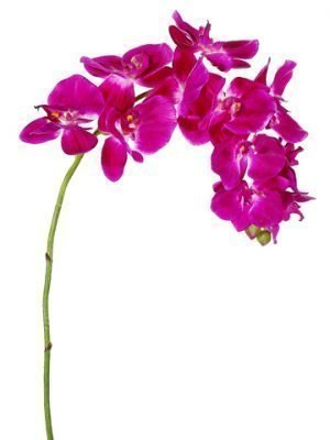 """37"""" Phalaenopsis Orchid Spray Orchid"""