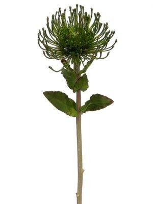 """26"""" Protea Spray Green"""