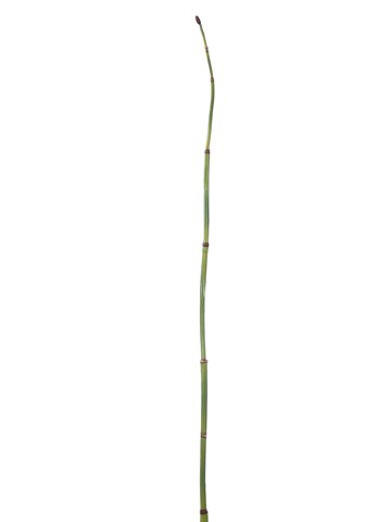 "52"" Equisetum BranchGreen"