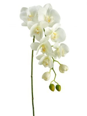 "31"" Phalaenopsis Orchid Spray with 8 Flowers and 4 Buds Cream Green"