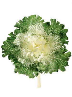 "11"" Large Japanese CabbageSprayWhite"