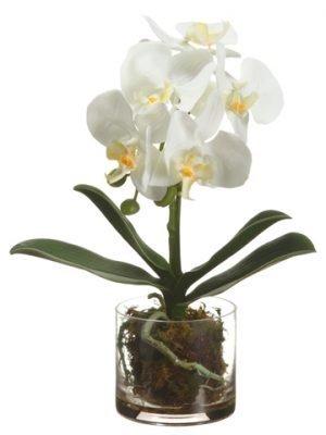"13"" Phalaenopsis Orchid Plantin Glass VaseWhite"