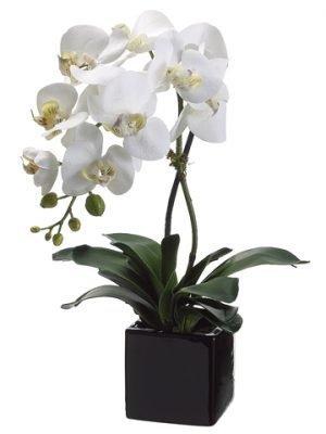 "20"" Phalaenopsis Orchid Plantx1 in Ceramic PotCream Yellow"
