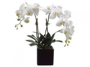 "22"" Phalaenopsis Orchid Plantx2 in Ceramic PotCream Yellow"