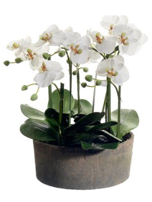"19"" Phalaenopsis Orchid Plant in Clay Pot Cream Green"