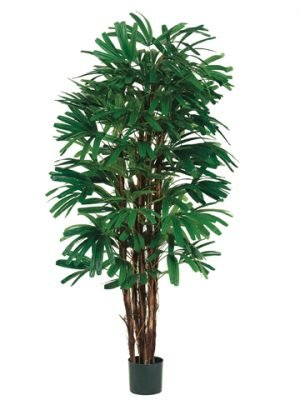 5' Rhapis Tree x5 with 658 Leaves in Pot Two Tone Green