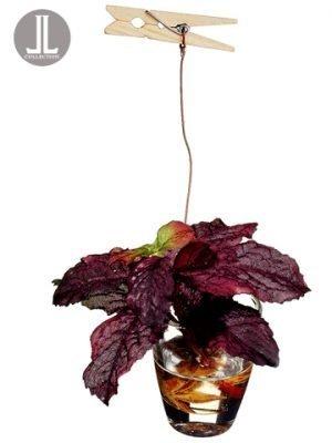 "3.5"" Mint in Glass Vasew/ClipBurgundy"