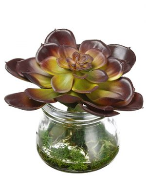 "4"" Echeveria in Glass Vase Green Burgundy"