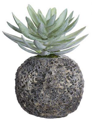 "9"" Dudleya in Cement Pot Green Gray"