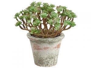 "7"" Sedum in Clay Pot Green Burgundy"