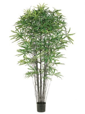 5' False Aralia Black Bamboo Tree with 1233 Leaves in Pot Two Tone Green