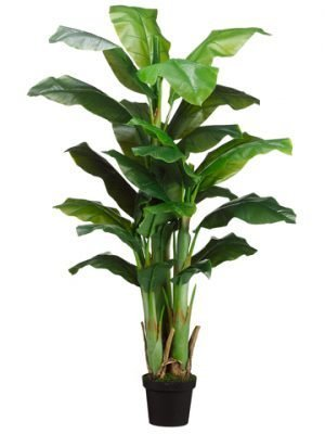 5' Banana Tree x3 in Pot Green