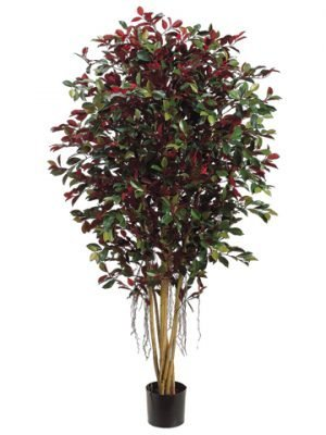 5' Ficus Retusa Full Tree w/2820 Leaves w/Air-Roots Green Red
