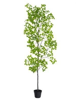 "98"" Peperomia Tree in PlasticPotGreen"