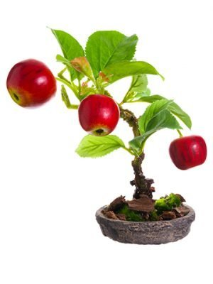 "6"" Apple Bonsai in Clay Plate Red"