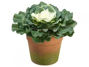 "6"" Cabbage in Terra Cotta Pot Green White"