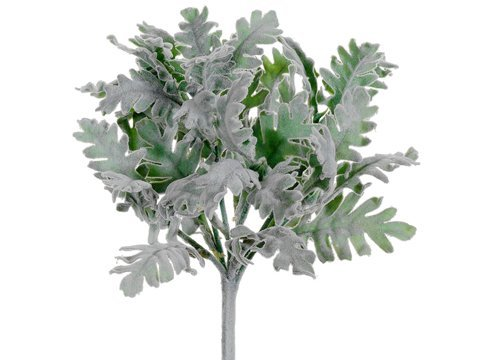 "9.5"" Dusty Miller Bush Green Gray"