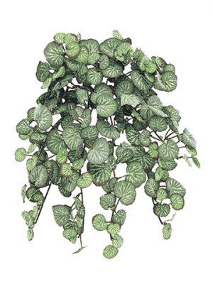 "13"" Saxifraga Hanging Bushw/231 LeavesFrosted"