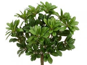 "17"" Pittosporum Bush with 384 Leaves Green"