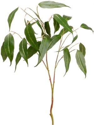 """36"""" Eucalyptus SprayGreen"""