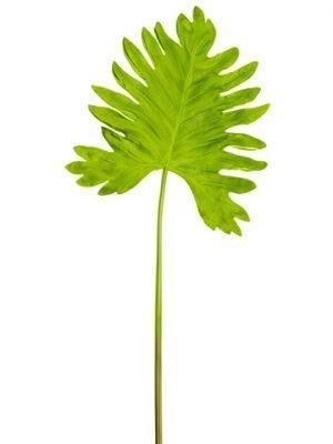 "18""Wx41.5""L Soft Selloum Philodendron Leaf Spray Green"