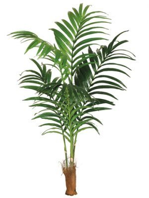 6' Kentia Palm with 131 Leaves