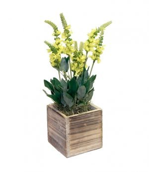 Yellow grape hyacinth in wooden pot