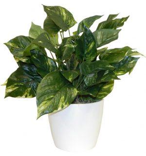 Simple pothos plant