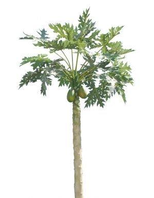 7' Papaya Tree Un-Potted