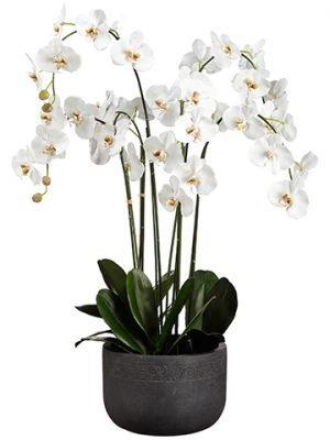 "52""H x 27""W x 32.5""L PhalaenopsisOrchid Plant In Fiber ClayPlanter White"