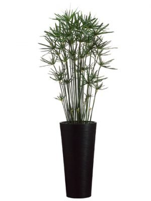 7.5'H Cypress in Bamboo TallContainerGreen