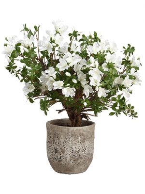 "28""H x 21""W x 24""L Rhododendron Plant in Cement Planter White Green"