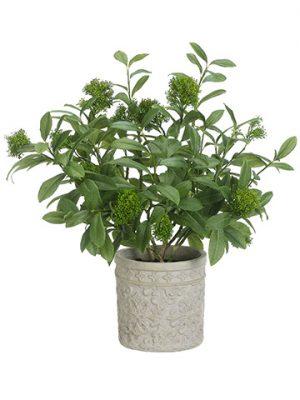 "30""H x 24""W x 23""L Skimmia PlantIn Terra Cotta PlanterGreen"