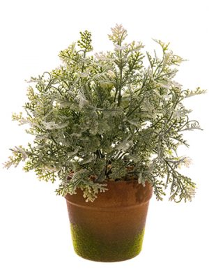 "10"" Selago Juniper in Paper Mache Pot Green Snow"