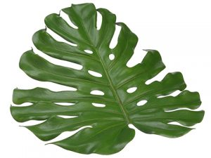 "18"" Monstera Placemat Green"