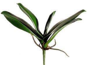 """11"""" Phalaenopsis Orchid LeafPlantGreen"""