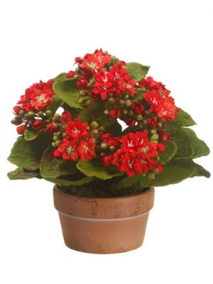"""8"""" Kalanchoe in Terra CottaPotRed"""