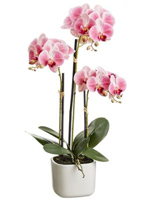 "25"" Phalaenopsis Orchid Plant x3 in Terra Cotta Pot Two Tone Pink"