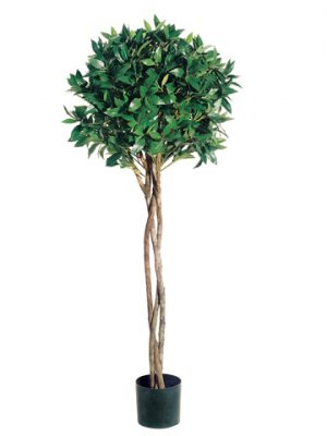 4' Bay Leaf Topiary with Braided Trunk in Pot