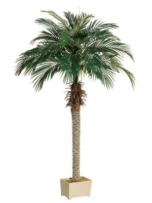 6' Phoenix Palm Tree in Rectangular Plastic Pot