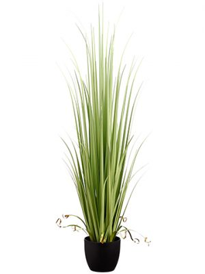 "60"" Reed Grass in Pot Light Green"
