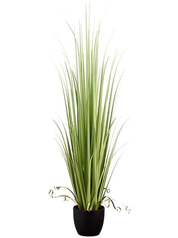 """60"""" Reed Grass in Pot Light Green"""