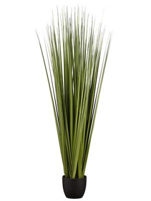 "66"" Reed Grass Bundle x6 in Pot Dark Green"