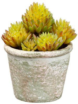 "4.5"" Sedum in Paper Mache Pot Green"